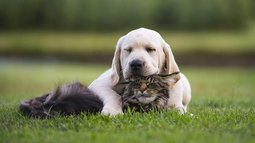 Labrador puppy  and Maine Coon cat friendship