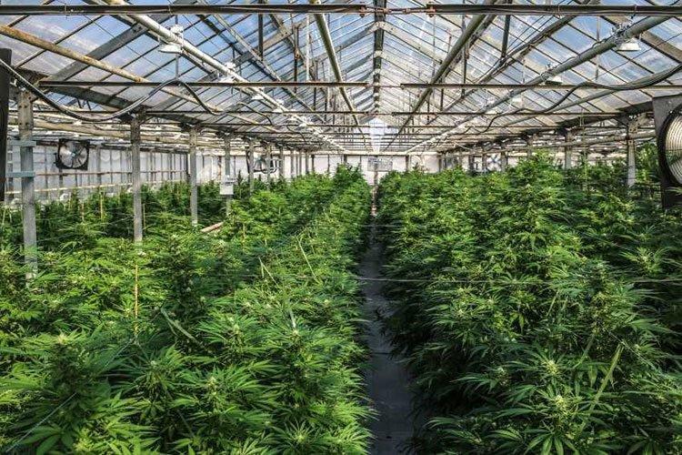 mxc medicinal cannabis