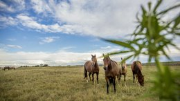 Creso on a Roll: New Hemp Plant Product for Equines and Large Animals Set for Release