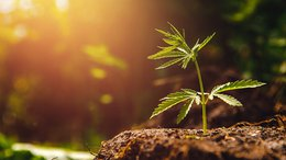 Roots Amasses Further US Cannabis Sector Sales